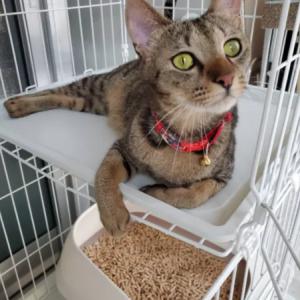 保護猫のFIPを治す為に、クラウドファンディングをはじめました。皆さんご協力をお願いします。