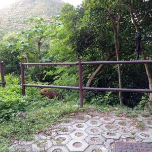 対峙するもの、お猿さんからイノシシ兄弟へ。年々増え続けるイノシシ問題、香港編。