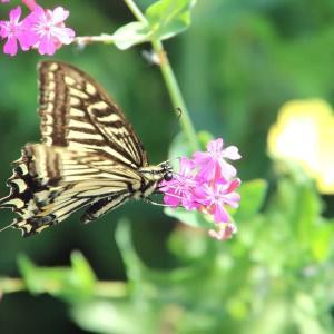 蝶々のホバリング