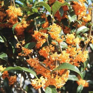 甘く芳しい香り漂う秋の風物詩