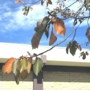 津田山桜の紅葉