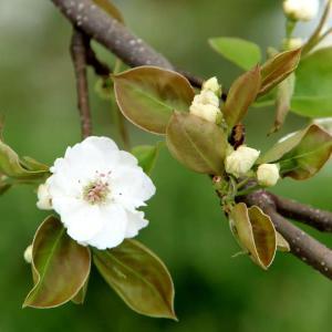 何もかも早い 梨の花が咲き始めました