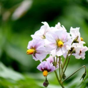 じゃが芋の白い花と紫色