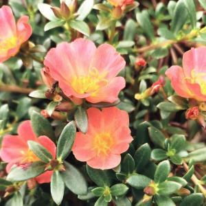 ポーチュラカ 小さな花ですが夏強い