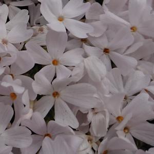 芝桜のじゅうたん♡(春のお散歩)