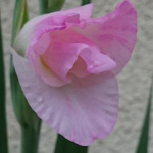 グラジオラスが咲いていました