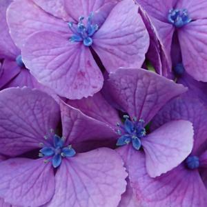 今朝の紫陽花と今朝の空など