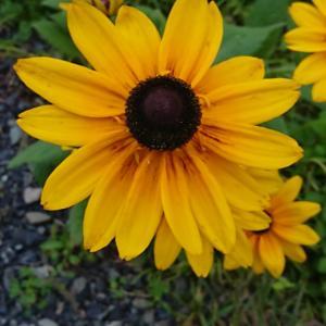 最近よく見かける黄色い花(今朝の新聞配達)
