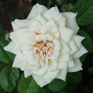 ラッピングリボンみたいな薔薇の花(今朝の新聞配達)