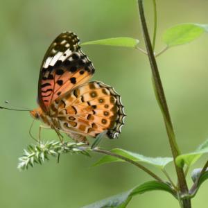 2019_09_25@森林公園植物園:吸蜜に忙しいチョウたち