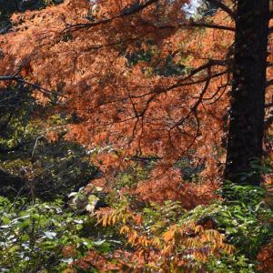 2019_11_22@森林公園植物園:金色に輝く