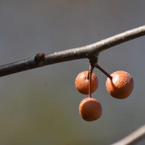2019_12_10@森林公園植物園:マメナシ