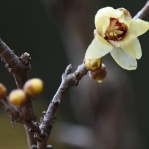 2020_01_26@森林公園植物園:透けるような淡い黄色