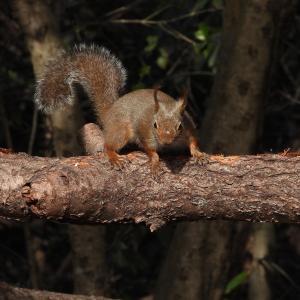 2020_02_24@森林公園植物園:いこいの森でニホンリス(トリミングなし)
