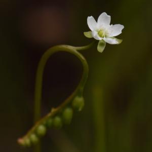 2020_06_15@森林公園植物園:モウセンゴケ