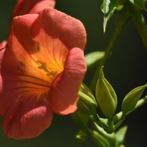 2020_06_25@森林公園植物園:これで開花しているの?