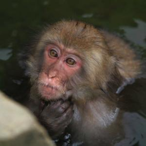 Snowy monkey(スノーモンキー)ならぬAutumn monkey(オータムモンキー)地獄谷野猿公苑の可愛いお猿さん達