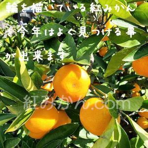 完熟山下紅みかんの成長日記(2019年11月4日撮影)