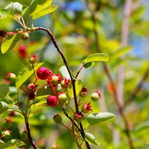 シンボルツリーにおすすめ!人気の「ジューンベリー」の育て方と楽しみ方
