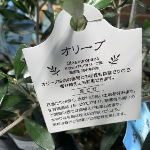 オリーブを植える
