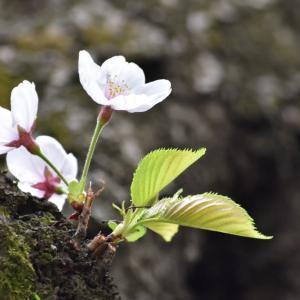 第十一候 桜咲き始める(春分次候)