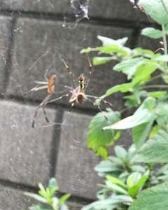 珍しいクモの巣
