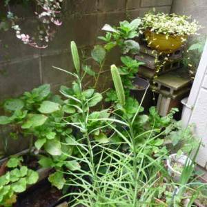 菊とタカサゴユリの種