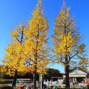 「公園の紅葉」梯子ポタ