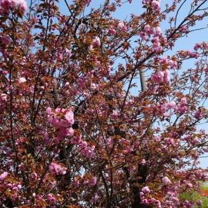 ソメイヨシノ ⇒ 八重桜