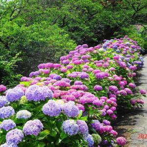 浮間公園まで紫陽花ポタ