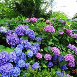 「航空記念公園」の紫陽花