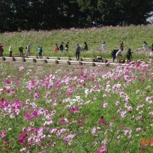 昭和記念公園のコスモス(花の丘のセンセーション)