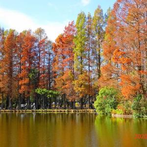 別所沼公園のメタセコイア(2020/11/29)