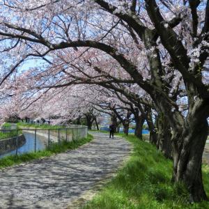 見沼の桜と果樹園師匠