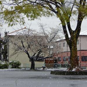 雪花見-なんか変だぞ今年の桜