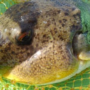 【釣】湾フグカットウ釣りの釣り方まとめ