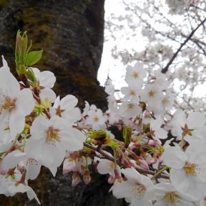 【感】雨降る前に歩いてお花見