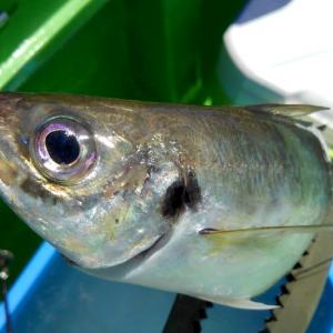 【釣】オリンピック開幕日に「金」を求めてアジを釣る (2021/07/23 午前アジ・午後フグ 野毛屋)