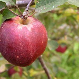 父とリンゴ