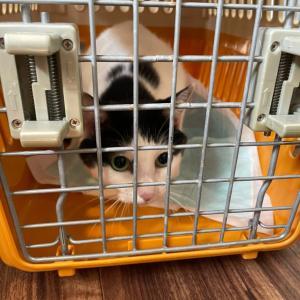 動物指導センターより成猫のレスキュー