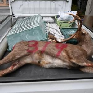 3月9日有害鳥獣捕獲「鹿」