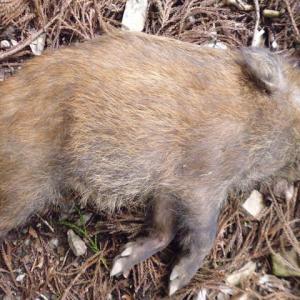 有害鳥獣捕獲 3月13日 猪(幼獣)