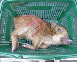 10月7日有害鳥獣捕獲「うり坊」
