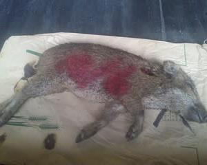 10月6日有害鳥獣捕獲「うり坊」