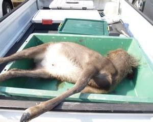 11月9日有害鳥獣捕獲「鹿」