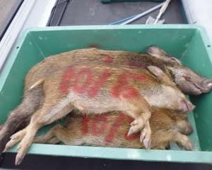 10月5日有害鳥獣捕獲「猪 3頭」