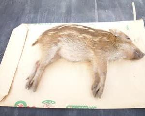 10月4日有害鳥獣捕獲「猪」
