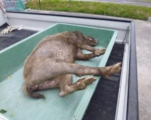 5月7日 有害鳥獣捕獲「猪 2頭」