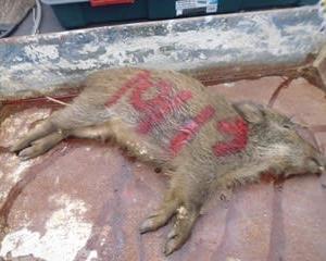 10月13日有害鳥獣捕獲「うり坊」