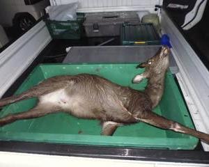 10月15日有害鳥獣捕獲「鹿」